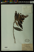 view Byrsonima sericea var. angustifolia digital asset number 1