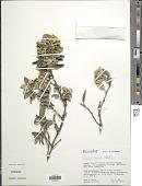 view Gynoxys buxifolia (Kunth) Cass. digital asset number 1