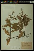 view Trigonia spruceana Benth. ex Warm. digital asset number 1