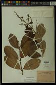 view Trigonia villosa Aubl. digital asset number 1