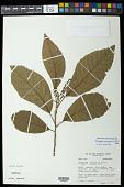 view Allophylus amazonicus (Mart.) Radlk. digital asset number 1