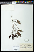 view Allophylus edulis (A. St.-Hil. et al.) Hieron. ex Niederl. digital asset number 1