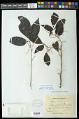 view Allophylus petiolulatus Radlk. digital asset number 1