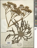 view Psacalium peltigerum (Kunth) Rydb. digital asset number 1