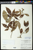 view Allophylus puberulus (Cambess.) Radlk. digital asset number 1