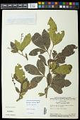 view Allophylus strictus Radlk. digital asset number 1