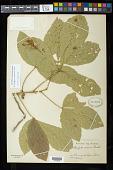 view Allophylus racemosus Sw. digital asset number 1