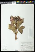 view Kielmeyera rubriflora digital asset number 1