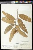 view Caraipa grandifolia Mart. digital asset number 1