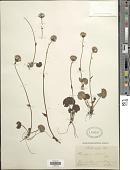 view Homogyne alpina (L.) Cass. digital asset number 1