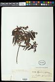 view Hypericum rigidum subsp. meridionale (L.B. Sm.) N. Robson digital asset number 1