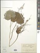 view Parasenecio adenostyloides (Franch.) Sav. ex Maxim. digital asset number 1