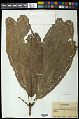 view Lacunaria grandifolia Ducke digital asset number 1
