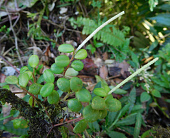 view Peperomia vincentiana Miq. digital asset number 1