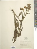 view Senecio chloranthus Greene digital asset number 1