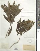 view Telanthophora cobanensis (J.M. Coult.) H. Rob. & Brettell digital asset number 1