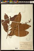 view Diclidanthera penduliflora Mart. digital asset number 1