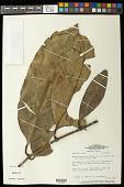 view Rheedia macrophylla (Mart.) Planch. & Triana digital asset number 1