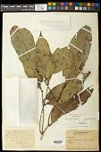 view Leonia glycycarpa var. glycycarpa digital asset number 1