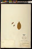 view Securidaca longifolia Poepp. & Endl. digital asset number 1