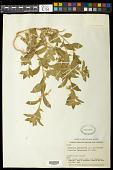 view Hybanthus calceolaria (L.) Schulze-Menz digital asset number 1