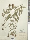 view Centaurea oxylepis (Wimm. & Grab.) Hayek digital asset number 1