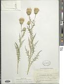 view Cirsium wheeleri (A. Gray) Petr. digital asset number 1