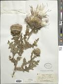 view Cirsium pumilum (Nutt.) Spreng. digital asset number 1