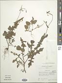 view Emilia sonchifolia var. sonchifolia (L.) DC. digital asset number 1
