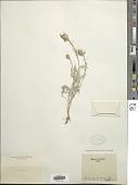 view Centaurea incana Lag. digital asset number 1