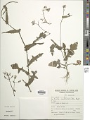 view Emilia sonchifolia (L.) DC. digital asset number 1