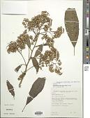 view Dendrophorbium tabacifolium (Rusby) C. Jeffrey digital asset number 1