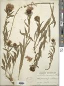 view Centaurea nervosa Willd. digital asset number 1