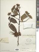 view Pentacalia ellipticifolia (Hieron.) Cuatrec. digital asset number 1