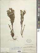 view Pentacalia imbricatifolia (Sch. Bip. ex Wedd.) Cuatrec. digital asset number 1