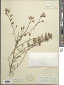 view Centaurea maculosa Lam. digital asset number 1