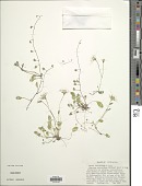 view Lactuca stolonifera (A. Gray) Benth. ex Maxim. digital asset number 1