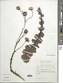 view Berkheya carduoides (Less.) Hutch. digital asset number 1