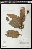 view Eschweilera coriacea (DC.) S.A. Mori digital asset number 1