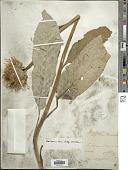 view Centaurea scariosa Lam. digital asset number 1