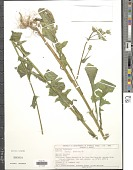 view Sonchus oleraceus L. digital asset number 1