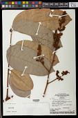 view Thyrsodium schomburgkianum Benth. digital asset number 1