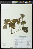view Begonia fischeri Schrank digital asset number 1