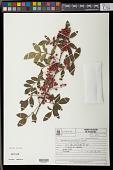 view Schinus terebinthifolia var. acutifolius Engl. digital asset number 1