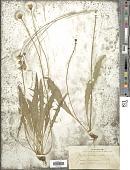 view Leontodon autumnalis L. digital asset number 1