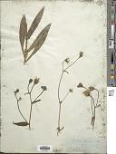 view Picris hieracioides digital asset number 1