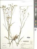 view Crepis tectorum L. digital asset number 1
