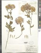 view Chrysanthemum morifolium 'Chippewa' digital asset number 1