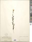 view Hieracium umbellatum L. digital asset number 1