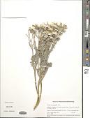 view Crepis occidentalis Nutt. digital asset number 1